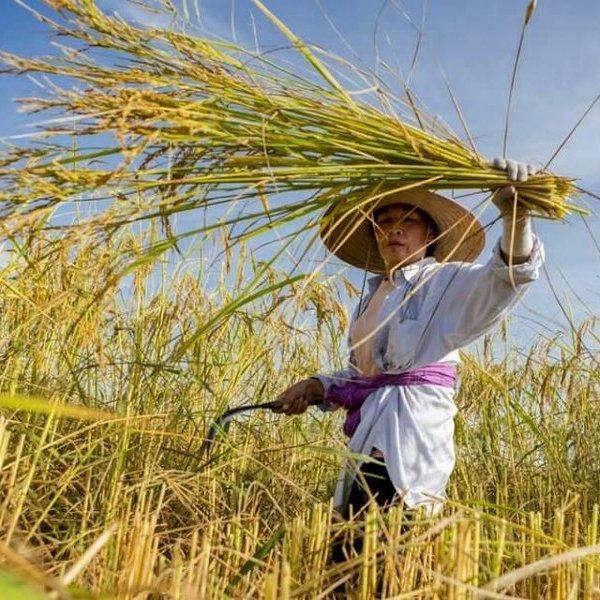 смартфон, часы, Генно-модифицированный рис и проблема голода в мире